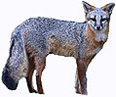 State Wildlife Animal - Grey Fox